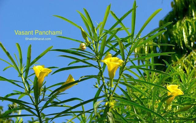 Vasant Panchami is known as the avtaran day of Maa Saraswati, the goddess of knowledge and wisdom on Magh Shukla Panchami.